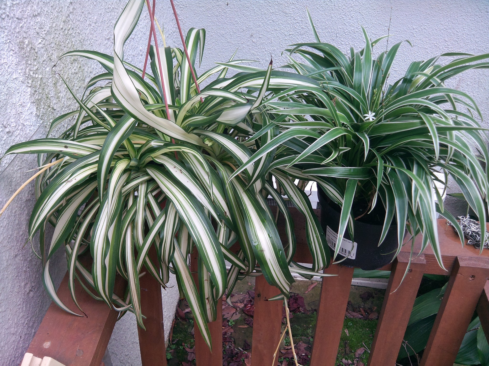 Chlorophytum1.jpg