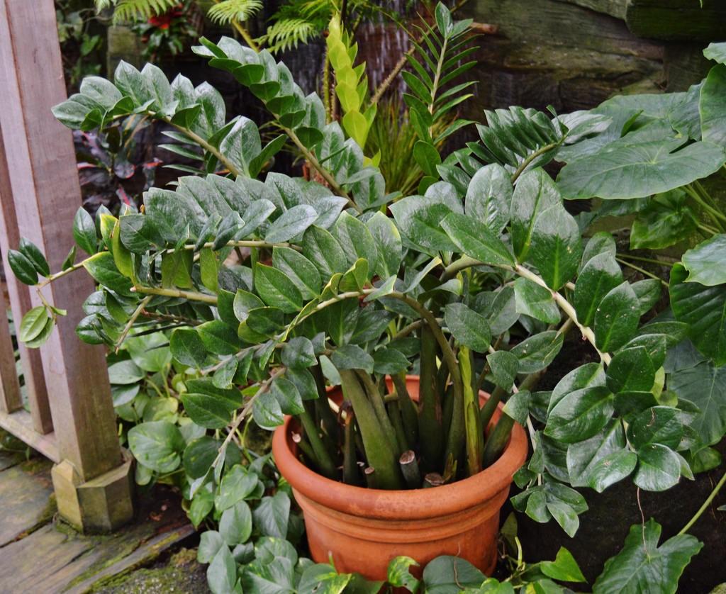 Zamioculcas zamiifolia3.jpg