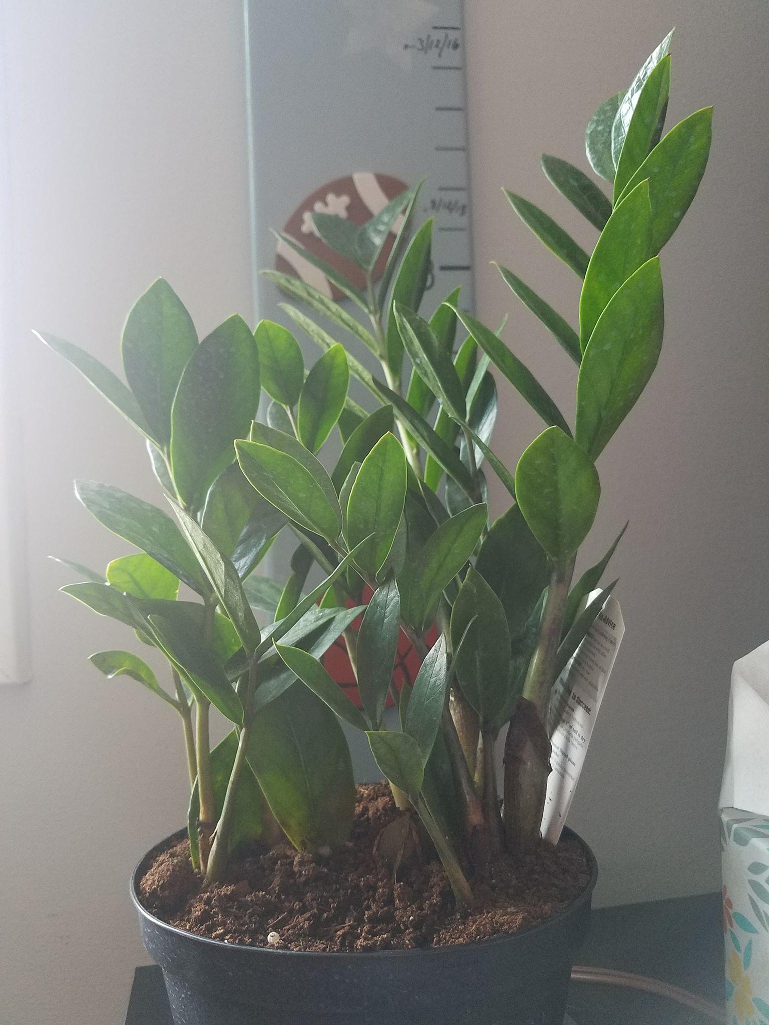 Zamioculcas zamiifolia1.jpg