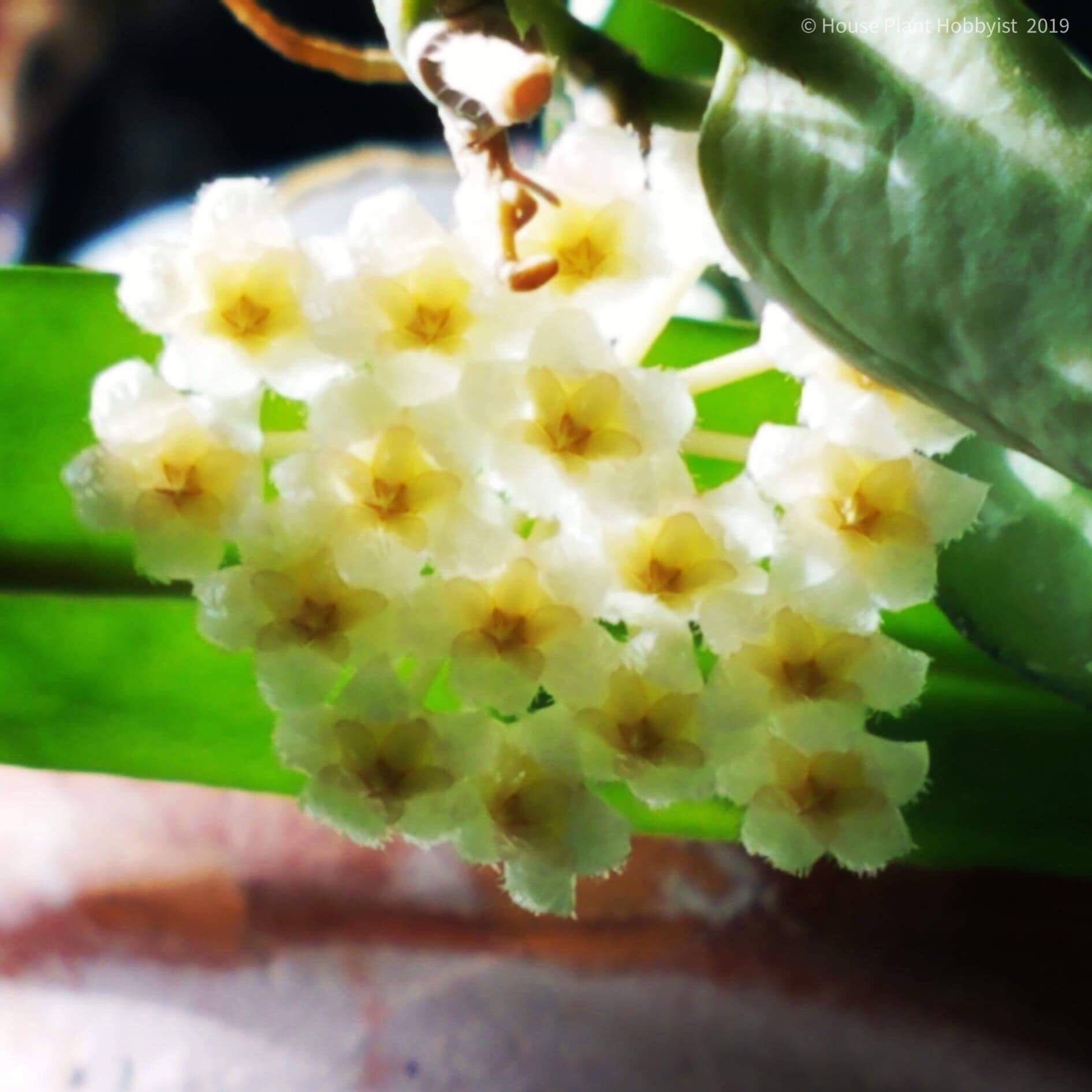 Hoya krohniana1.jpeg
