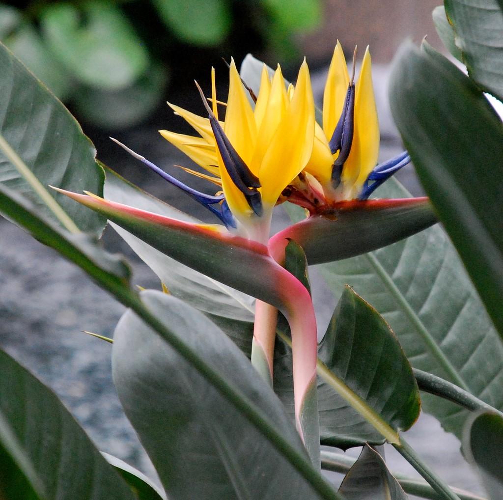 Strelitzia reginae2.jpg