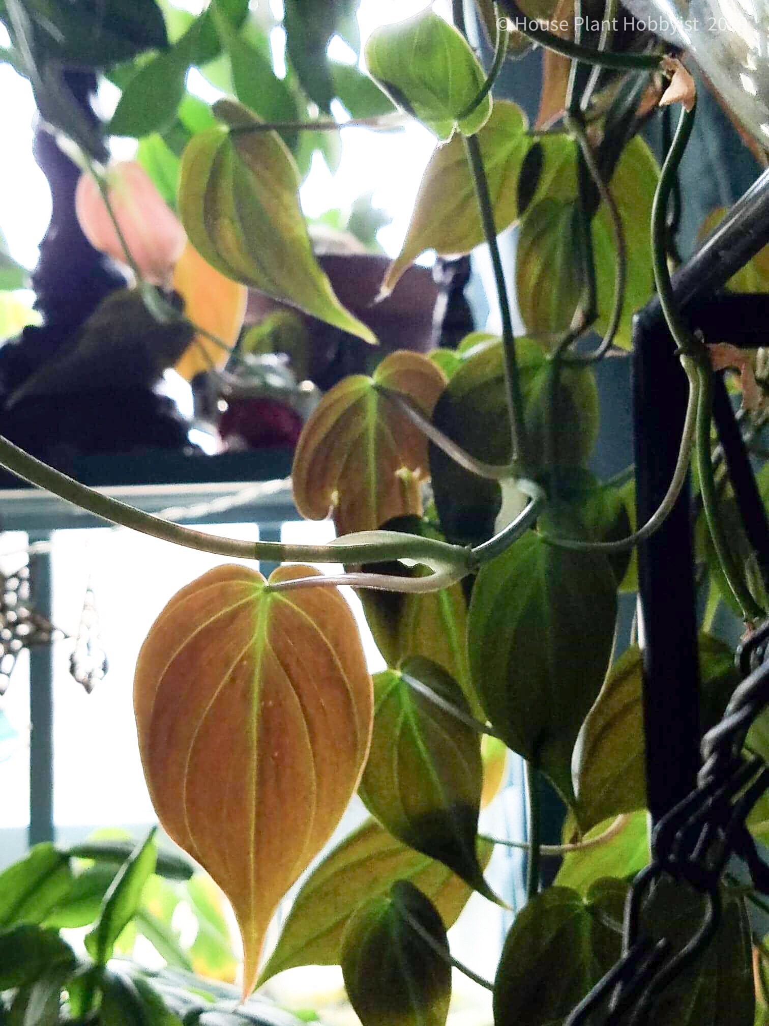 Philodendron micans2.jpeg