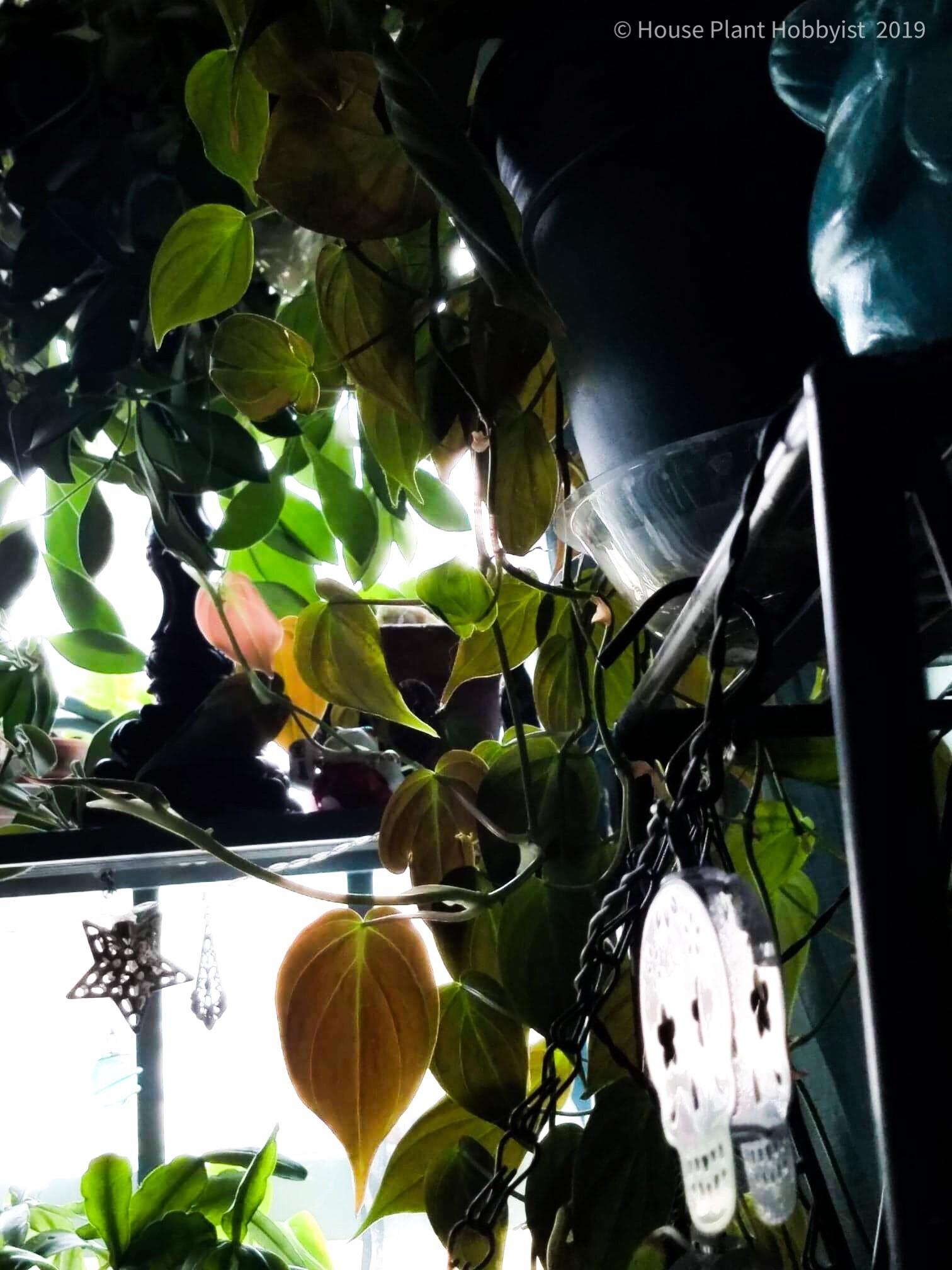 Philodendron hederaceum var. hedarceum 'micans'