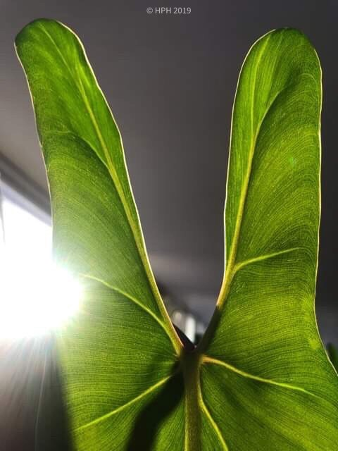 Sharkey the Philodendron 'spiritus sancti'