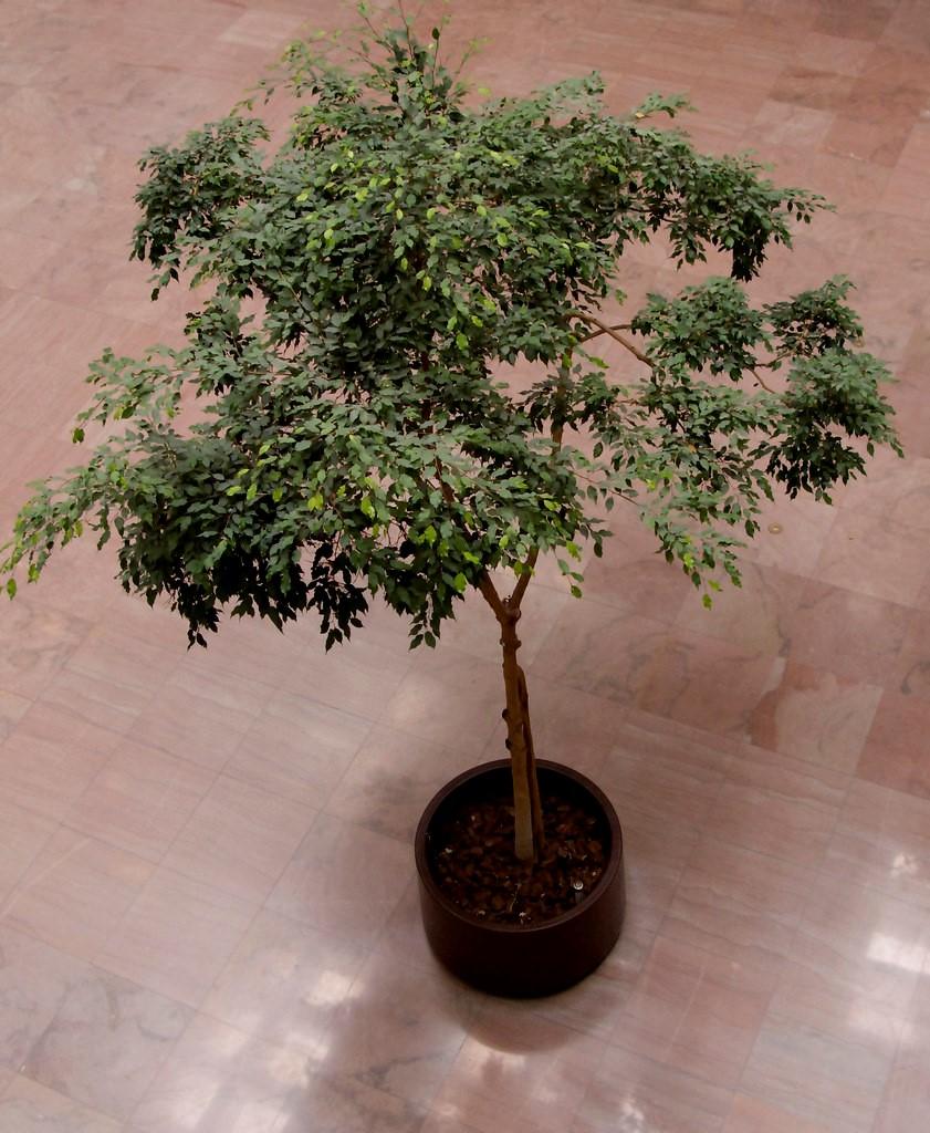 Ficus benjamina.jpg