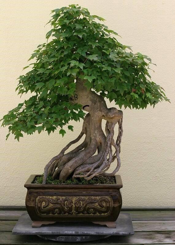angry bonsai.jpg