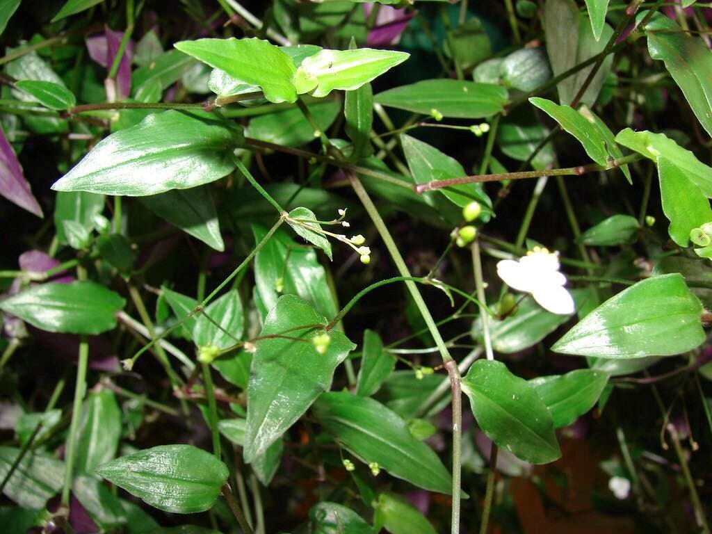 Gibasis geniculata.jpg
