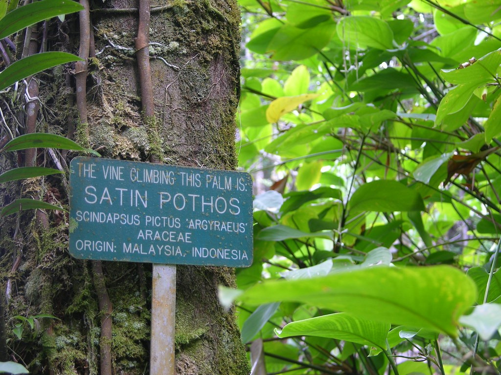 "This picture shows that even botanical gardens sometimes label the  Scindapsus pictus  with the misleading, and incorrect common name, of ""satin Pothos"""