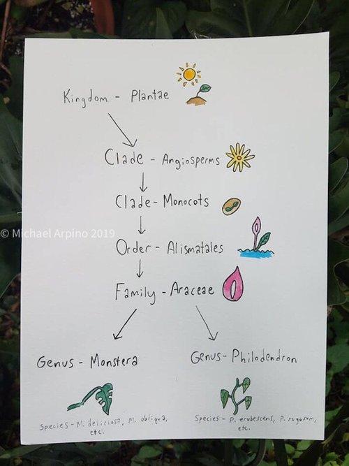 Philodendon vs Monstera — House Plant Hobbyist