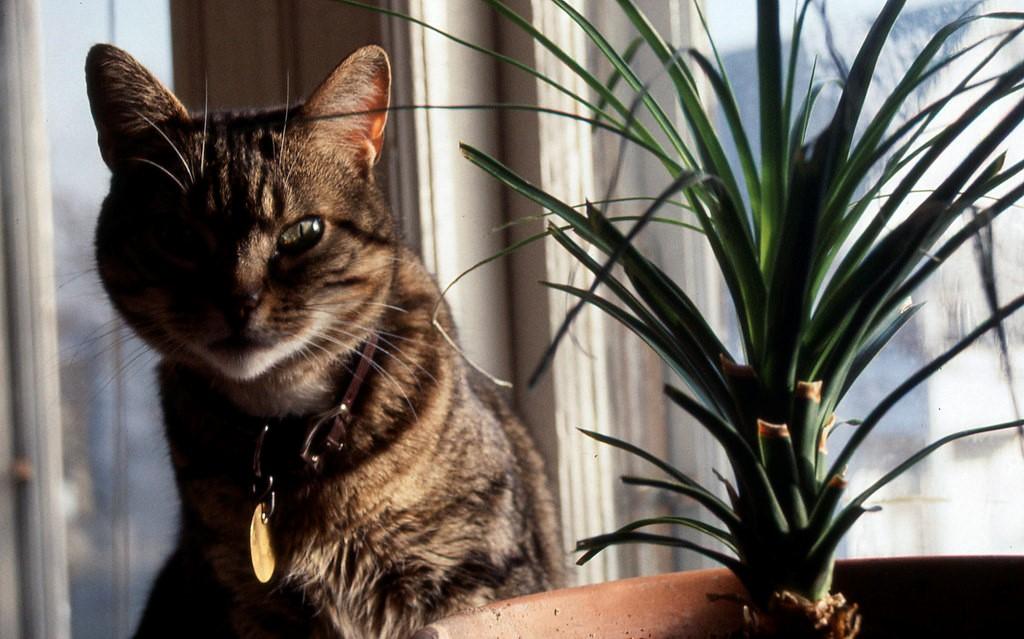 cat ponytail palm.jpg