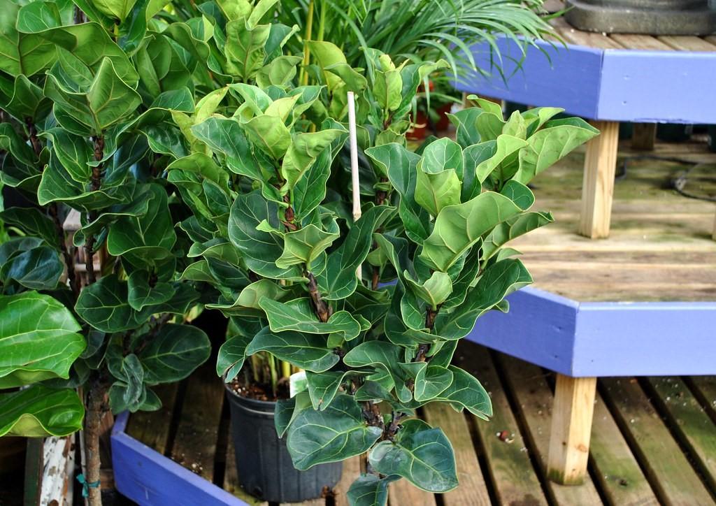 Ficus lyrata5.jpg
