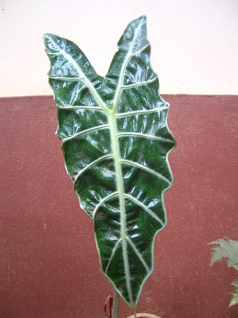 Alocasia amazonica2.jpg