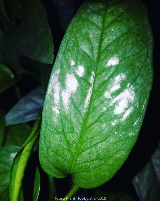 "Cebu Blue leaf showing the silvery ""sparkles"""