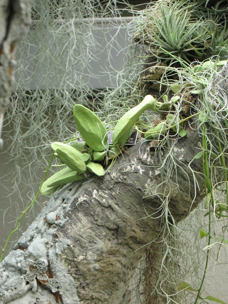 Dischidia, air plants, and Spanish moss