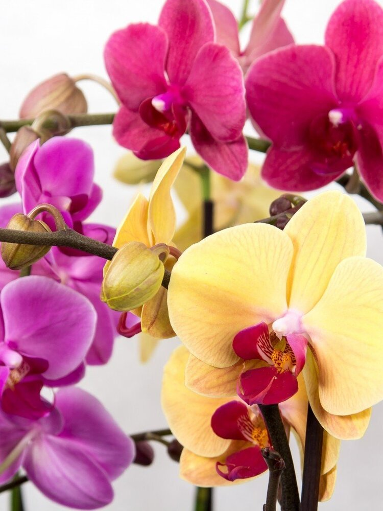 orchid-phalaenopsis-butterfly-orchid-tropical-pink.jpg