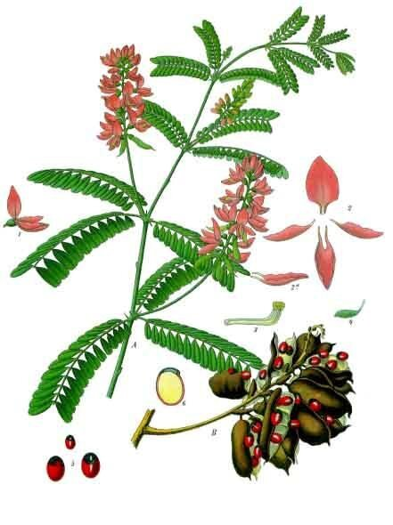https://commons.wikimedia.org/wiki/File:Abrus_precatorius_-_K%C3%B6hler%E2%80%93s_Medizinal-Pflanzen-002.jpg