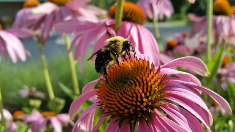 bee-coneflower-insects-bumblebee.jpg