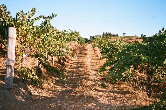 Harvest captured on film by @kooks.anonymous . . . . #vineyard #wine #winery #winemakerslife #winelover #winenight #winetasting