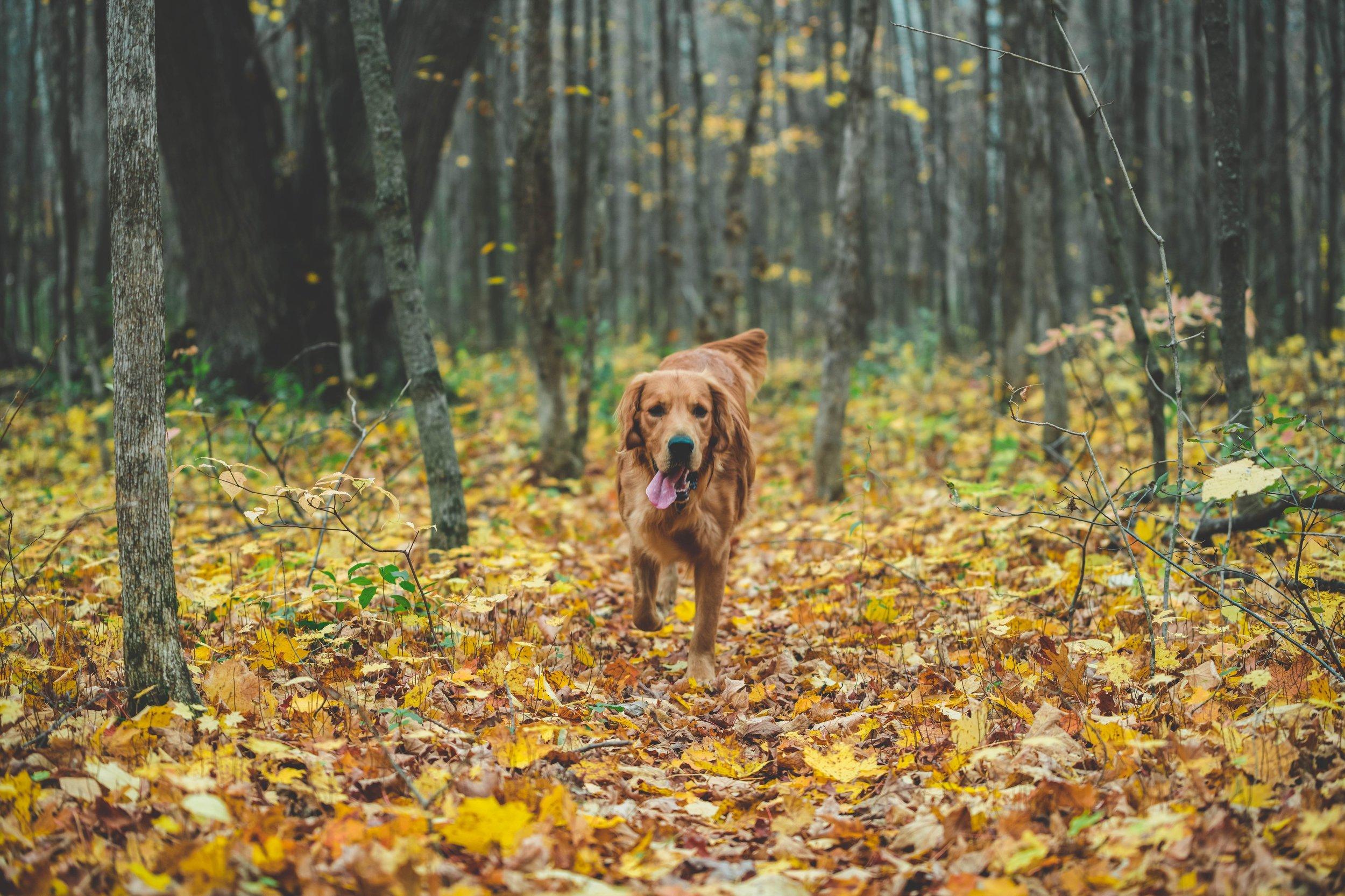 dog-running-in-fall-leaves_4460x4460.jpg