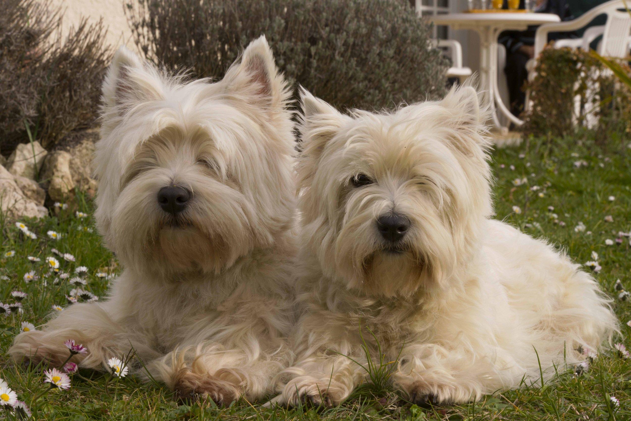 white-dog-mammal-dogs-animals-vertebrate-773652-pxhere.com.jpg