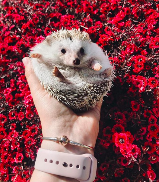 Hodgy, a pet hedgehog from the United States, is an influencer too.    Source