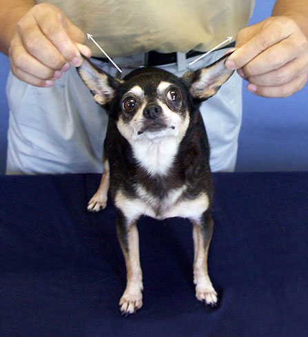 Ba-shen-fa  (stretching or drawing), demonstrated above on the ears in a dog, stretches tendons and regulates the channels.