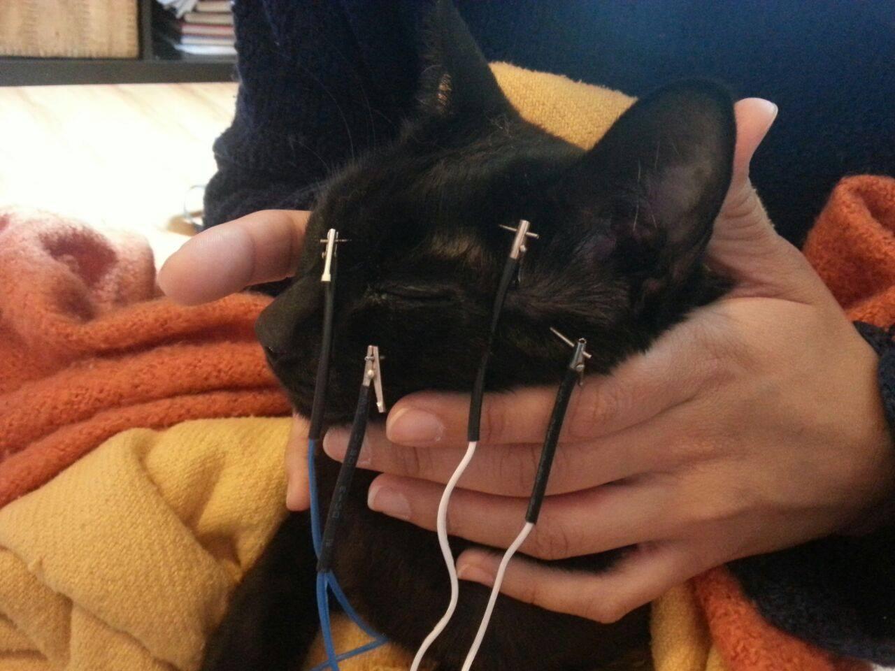 Electro-acupunctura aplicada a un gato en el tratamiento de KCS