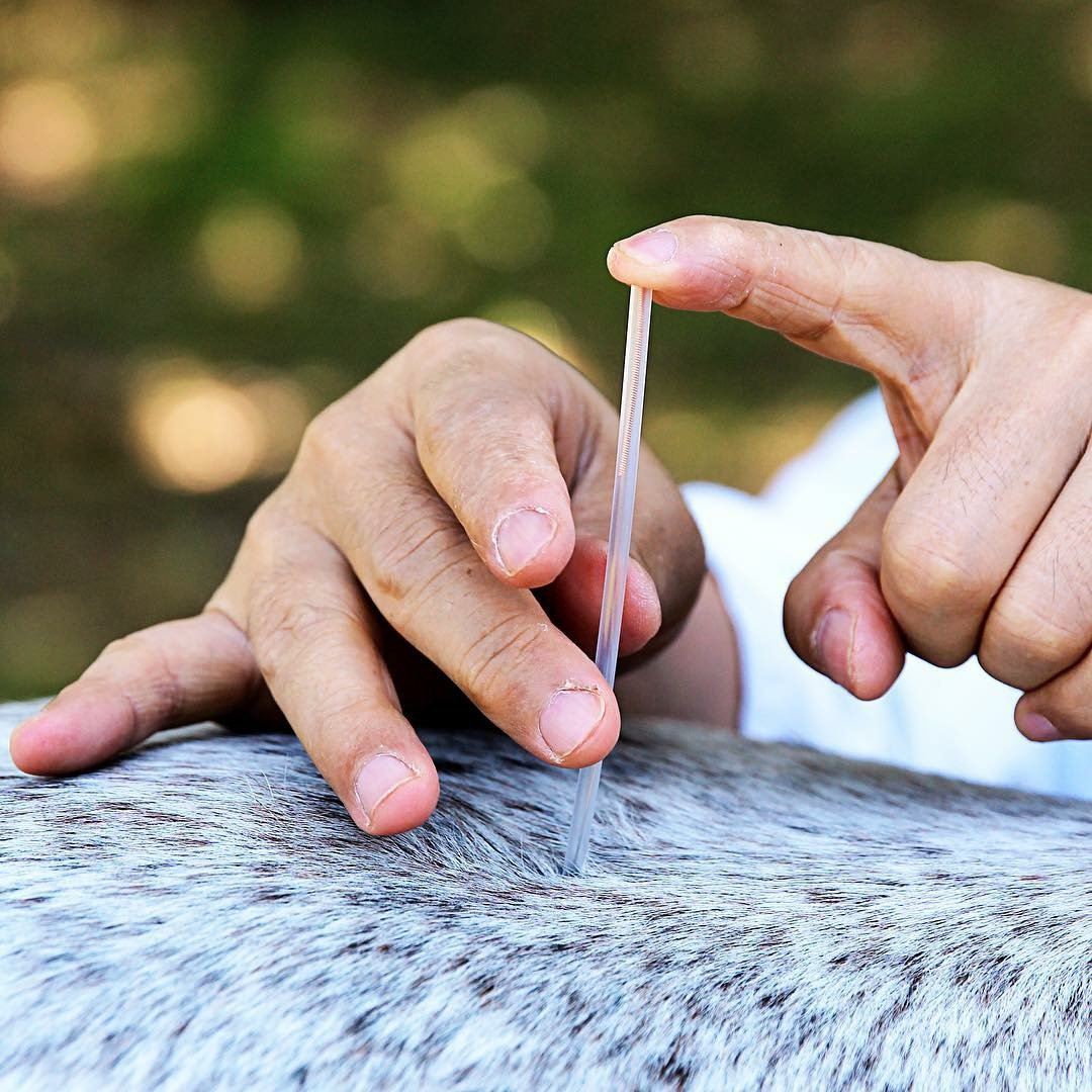 Application of the dry-needling technique in a horse.