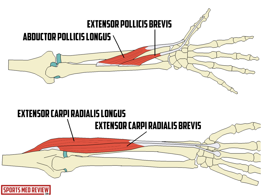 Image 1 . Muscles of the 1st and 2nd Extensor Compartments