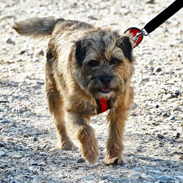 This was Beatrix first canicross 5km. She smashed it - what a star ⭐️. Go Beatrix go! . . . . . #canicross #5km #dogrun #tot #newbie #borderterrier #doggos #socialrunning #londondogs #cutepup #caninefitness #runningwithdogs #runthepackldn