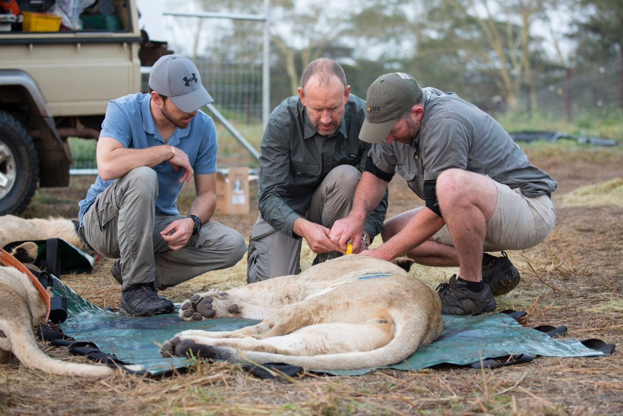 Vet Ryan Van Devender fixes a collar to the lion as the two pilots assist