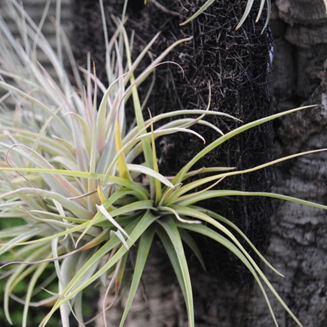 #airplants are very easy to keep, tuck them into shells and driftwood crevices, glass baubles or wire baskets, or superglue their roots to stones or wood. Remember to submerge them in water once a week in the summer and every 3 weeks in the winter. We are open today 10-3 #plantlovers #norwich