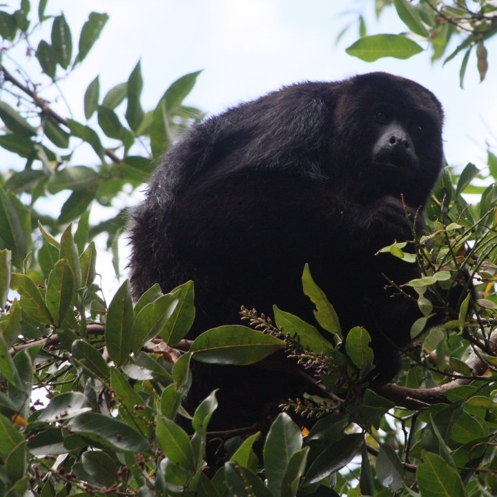 EcolutionSbaboon tours - A fun and playful tour just down the road from the retreat center. The highlight of the tour is supposed to be the black howler monkey but it is often hard to outshine the knowledgeable and witty tour guides for which they are known. Combine the Lamani and Ecolution tours for a full day tour!