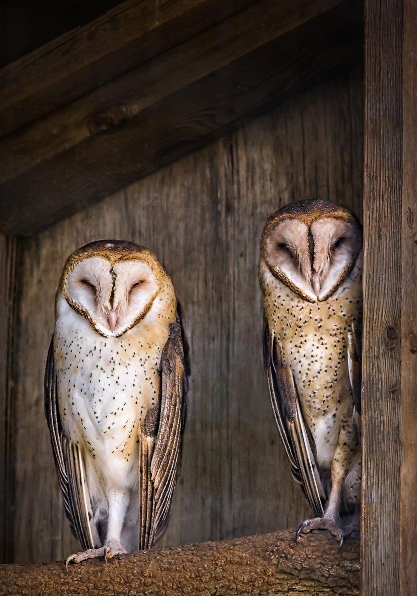 005_Yolanda Santiago White_Barn Owls.jpg