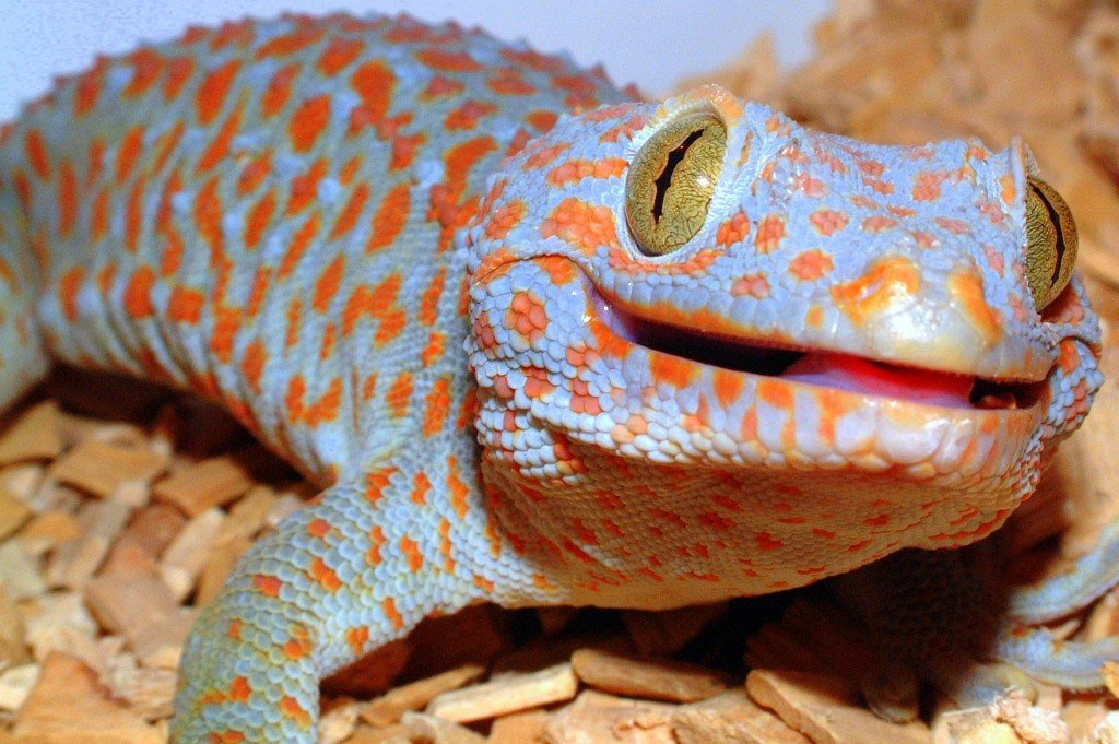 Male Tokay Gecko