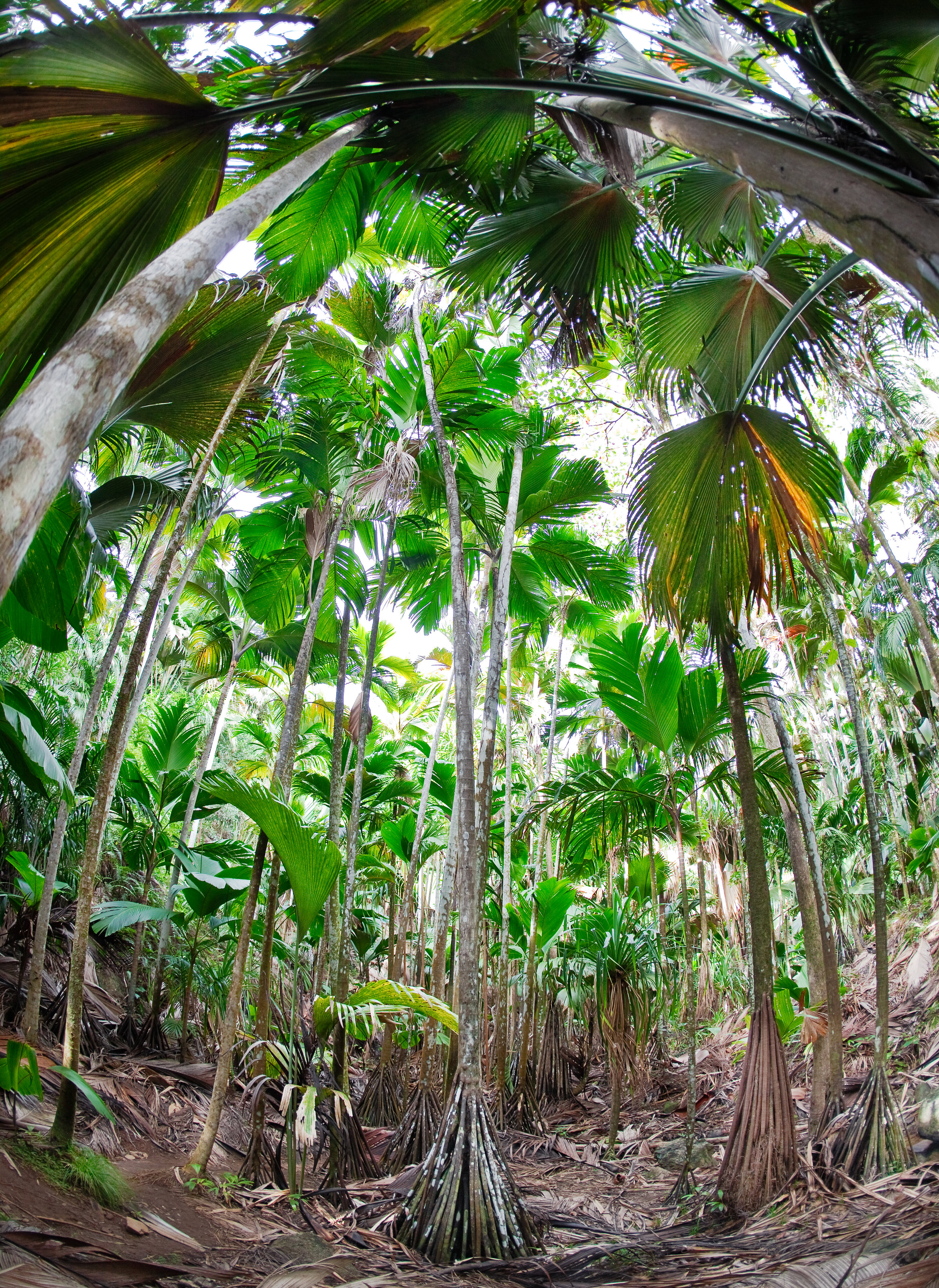 tropical-forest-of-palm-trees-seychelles-P8LDTSF.jpg