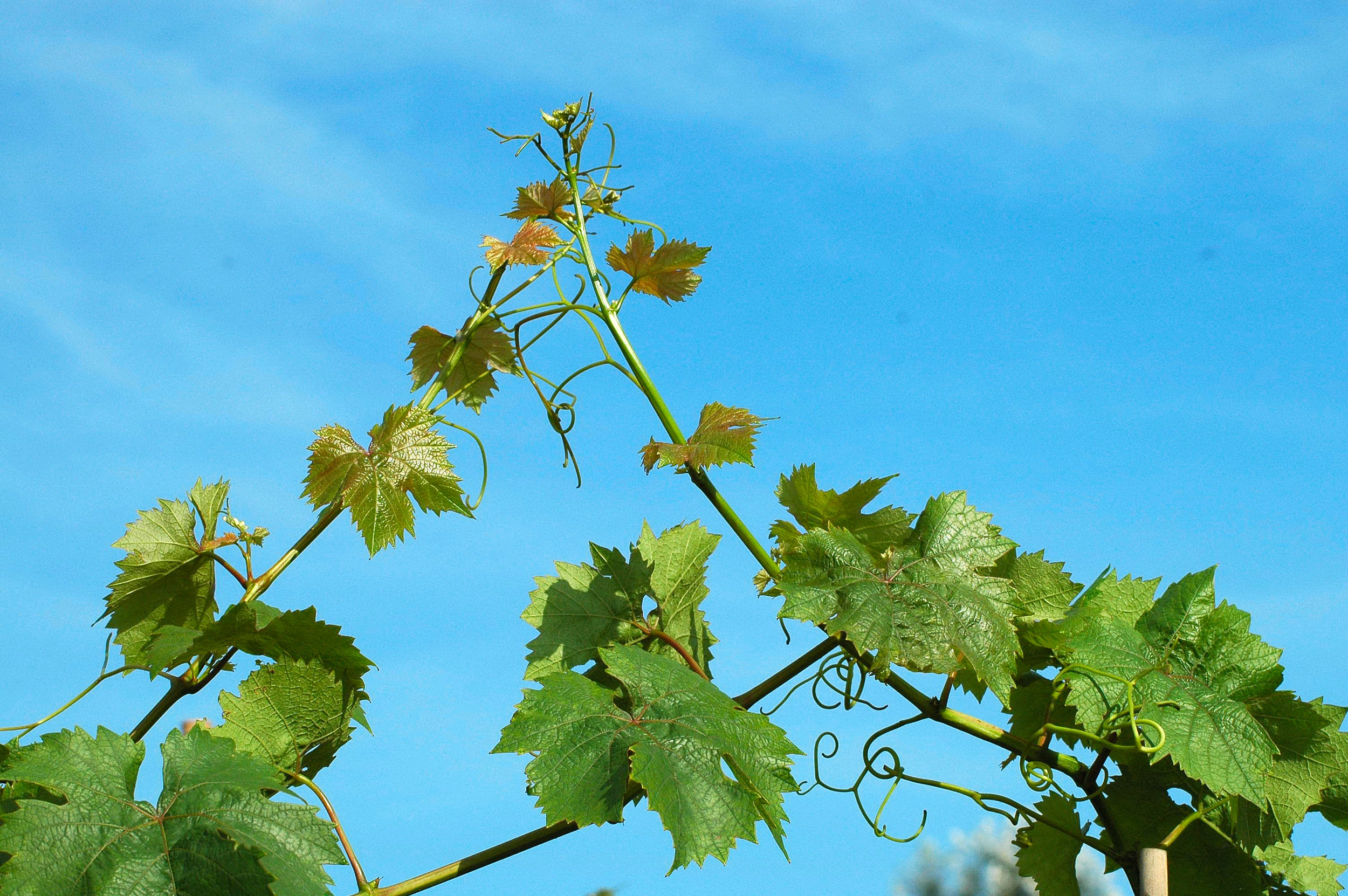 Winnica -