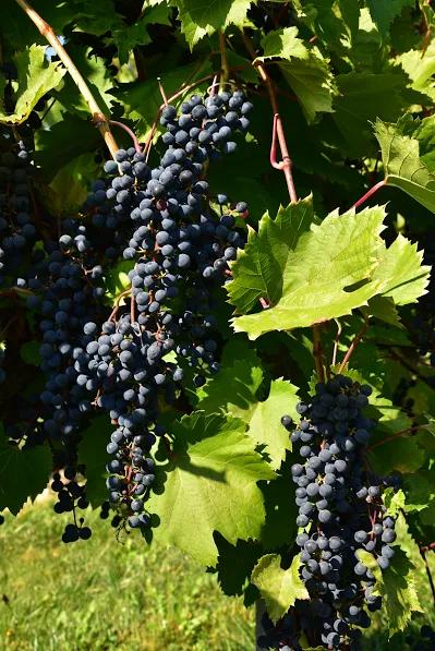 winorosle czerwone 2.png