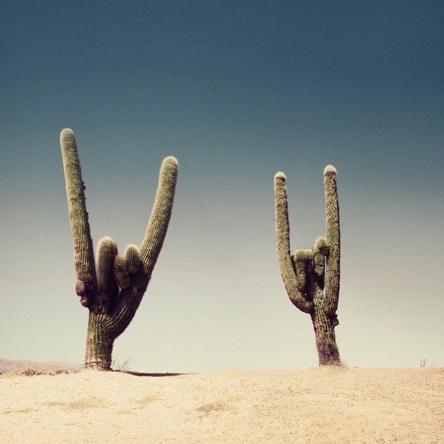 """A photo of two cacti next to each other in a desert. Both have their limbs in such a way that it looks like a """"rock on"""" hand."""
