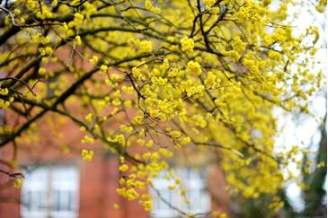 cornelian-cherry-dogwood-tree-in-front-of-house.jpg