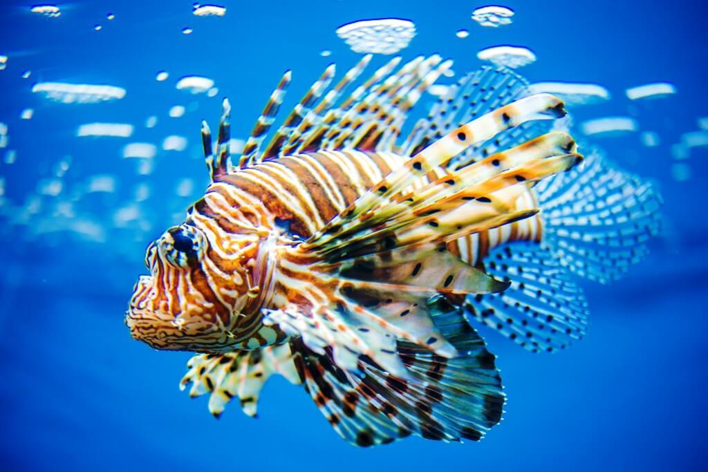 Lionfish - Extreme Fish at The Oklahoma Aquarium - Explore Tulsa Near The Campbell Hotel on Route 66