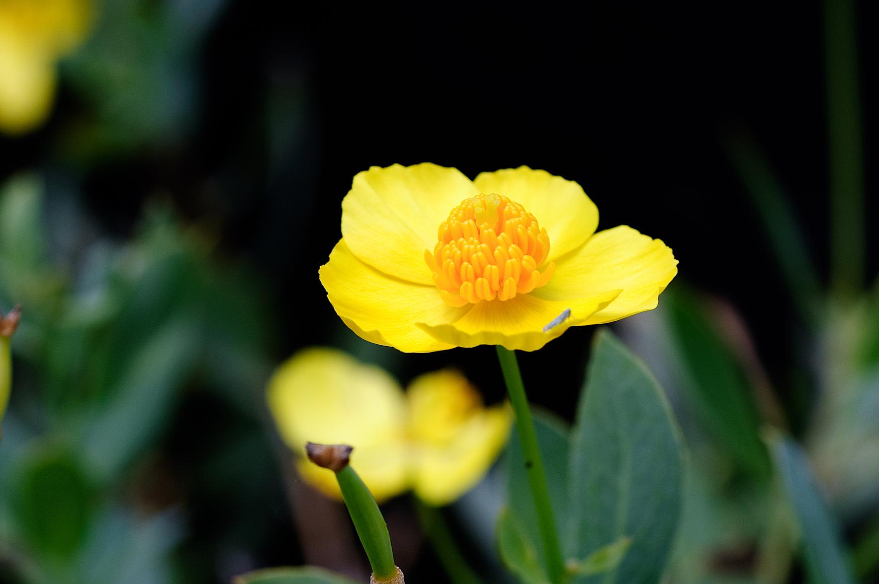 Dendromecon harfordii, Island Bush Poppy,Private Garden, Alameda