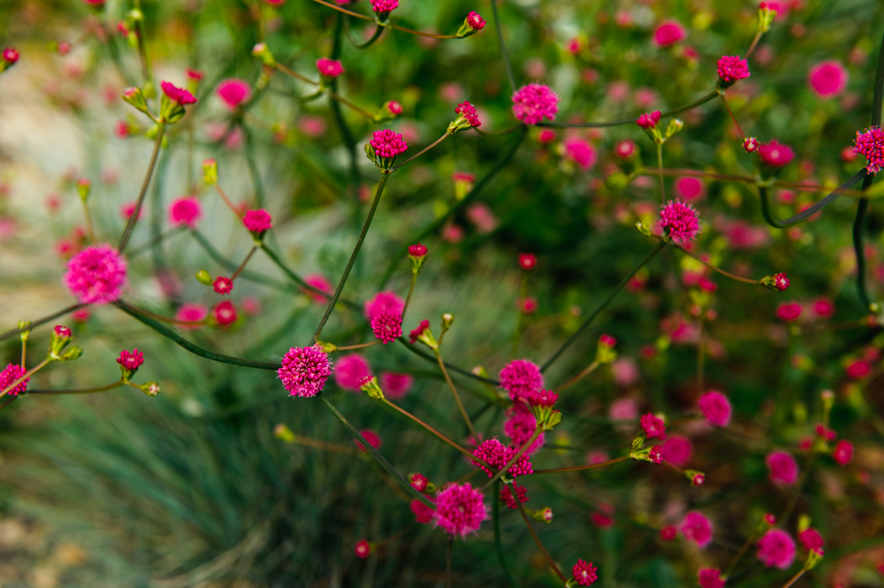 Eriogonum-grande-var.-rubescens-San-Miguel-Island-Red-Buckwheat.jpg