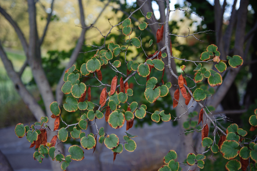 Heart-shaped leaves on a Western Redbud
