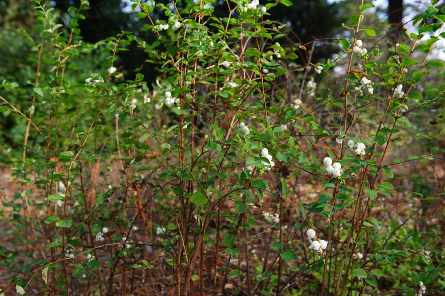Symphoricarpos mollis, Snowberry