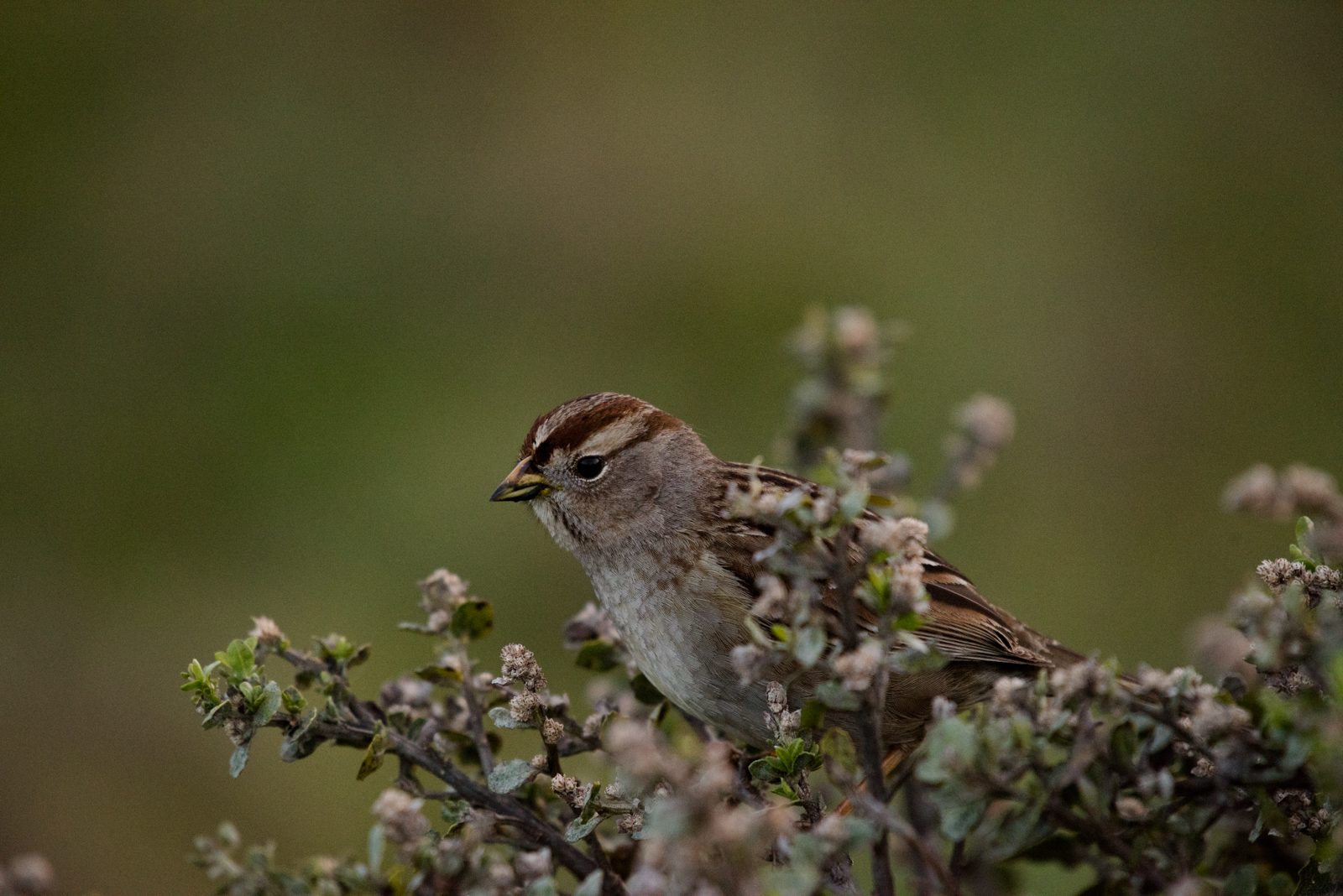 Juvenile White-crowned Sparrow perched on Coyote Brush