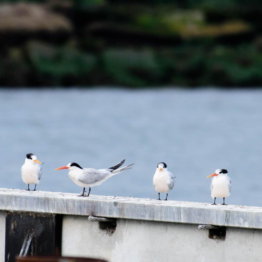 Elegant Terns ( Thalasseus elegans)