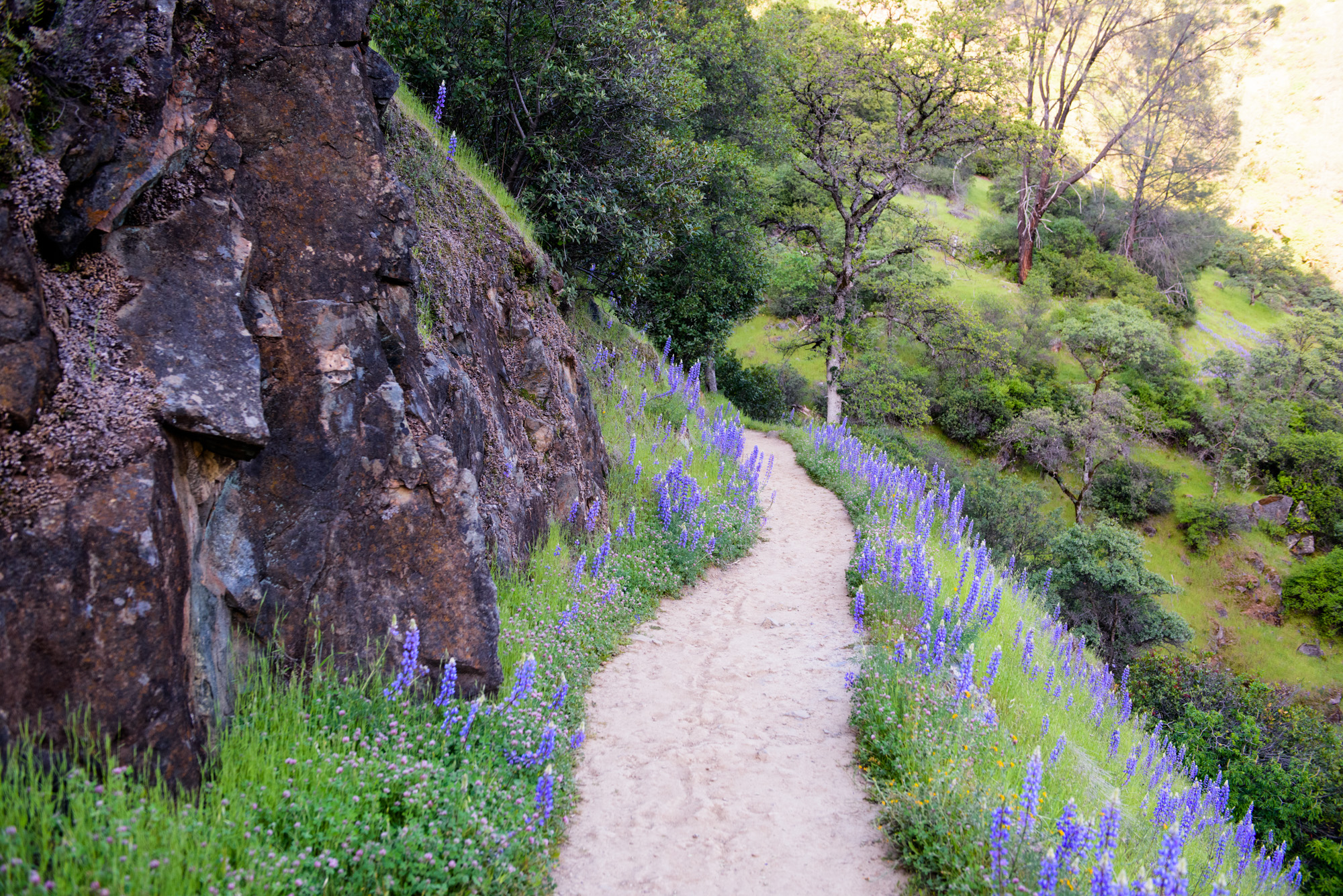 Lupine lined trail