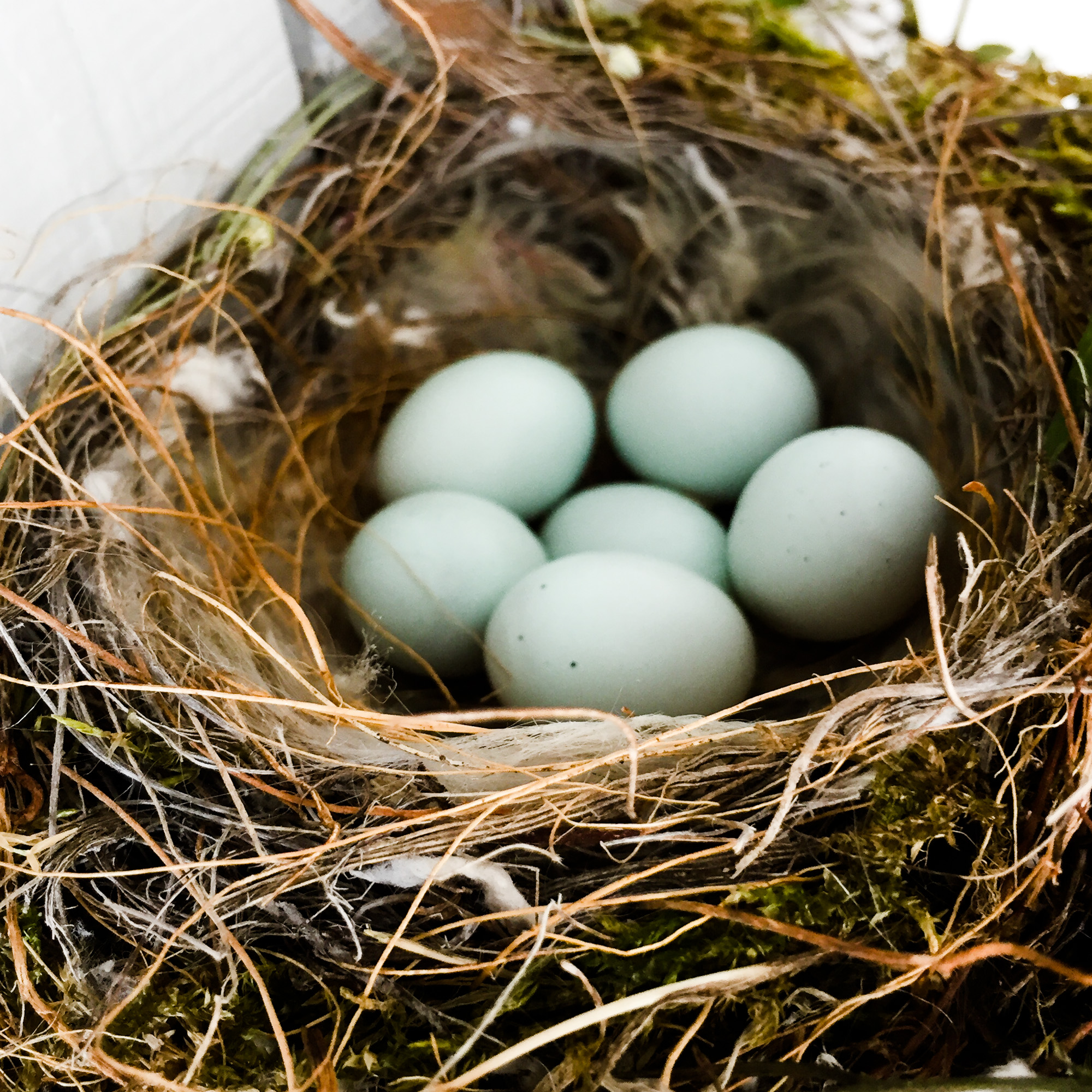 House Finch nest with six pale blue speckled eggs
