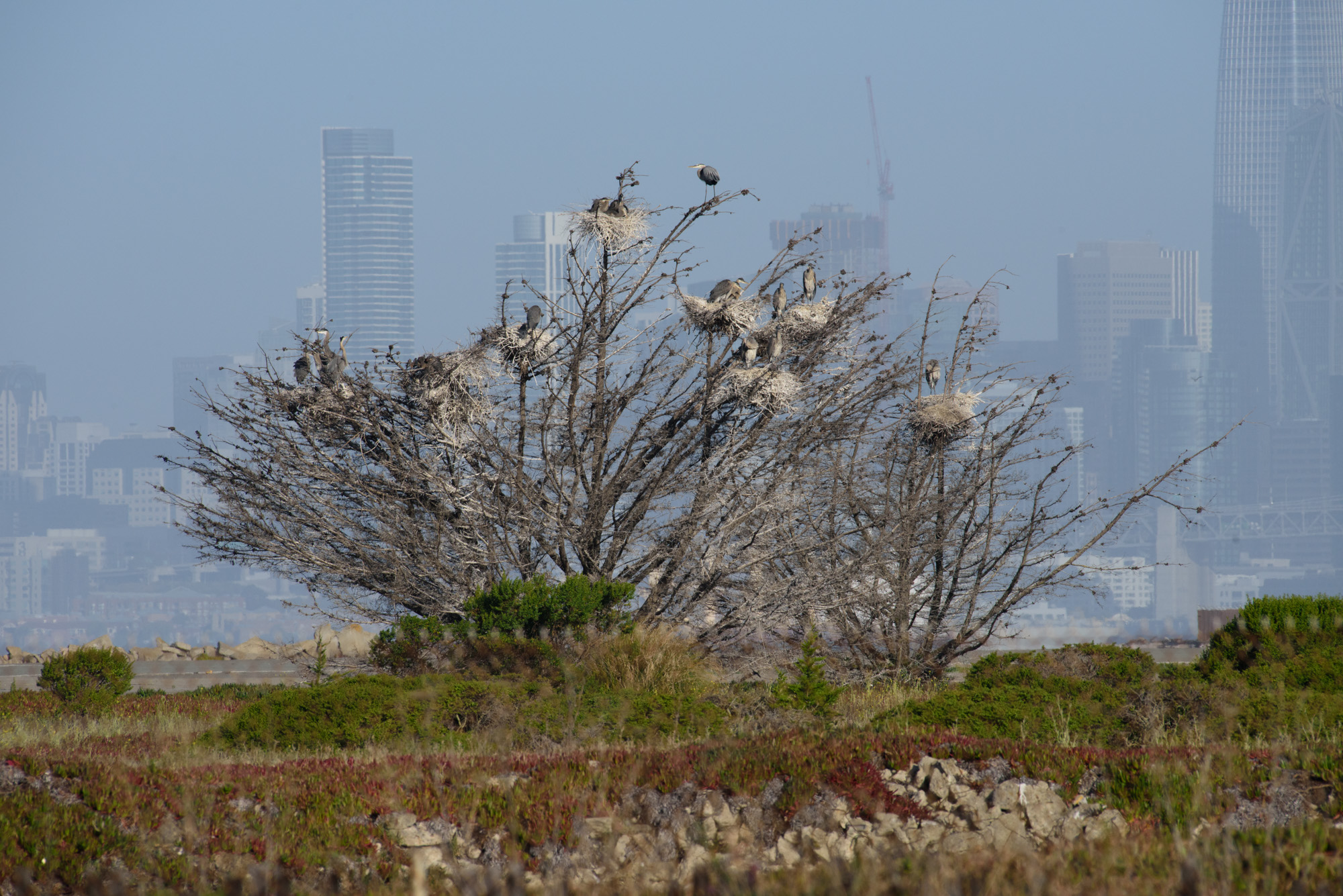 Great blue heron nesting tree with San Fransisco in the background